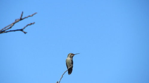 """""""Tweetie,"""" the hummingbird that lives in our plum tree"""
