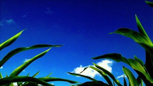 I laid down in the corn fields in Ohio.
