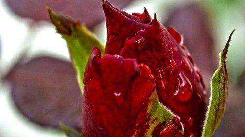 The ULTIMATE Rose Bud... by mischellewrightphotos ©2012 All Rights Reserved.