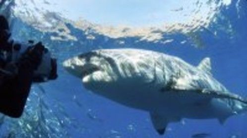 White Sharks in Mexico w sharkdiver.com and Nat Geo TV 2005
