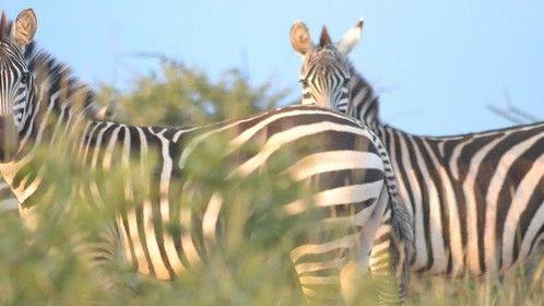 zebra zebra 2012