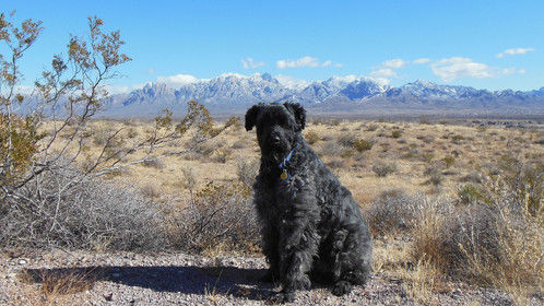 Roy is a Bouvier Des Flanders and my big puppy in southern New Mexico