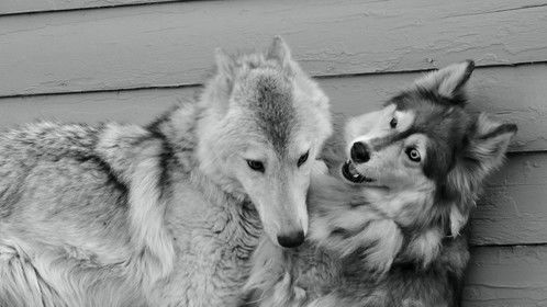 'CANINE EXPRESSIONS' Tala and Hotah sharing a moment.