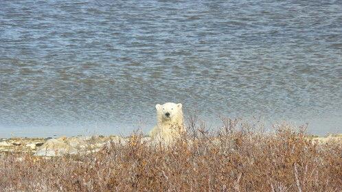 polar bear conservation trip to Churchill, MB Canada