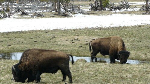 Enjoying time with American bison at Yellowstone National Park.