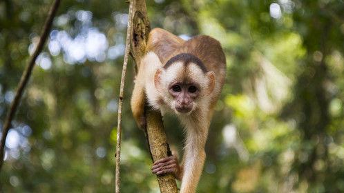 Monkey on the Amazon riverside