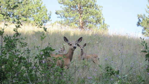 This mule deer had three fawns. I was only able to get two in a photo with her.