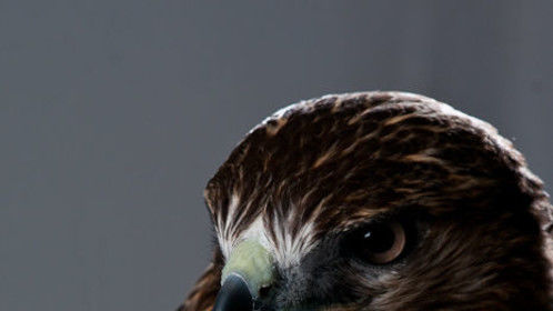 """Beautiful 'Mohave' - our Red Tail hawk - getting his headshot done by Wendy D. Photography on the set of """"Divine: The Series"""""""