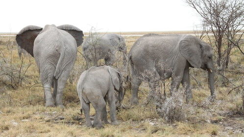 Huge family of a breeding head of African elephants in Etosha Namibia.
