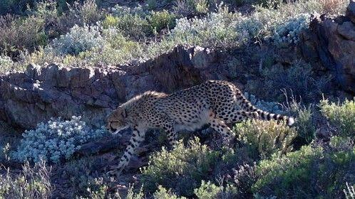 Cheetah - Sanbona