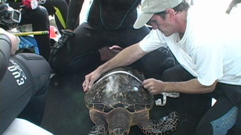 BTS still shot from Force-E Turtle Research Trip, tagging Hawksbill turtles for research.