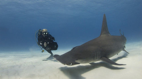 Filming Great Hammerheads in Bimini, the Bahamas