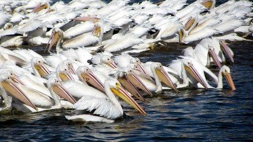 White Pelicans schooling fish on the LSU University Lakes in Baton Rouge, LA.