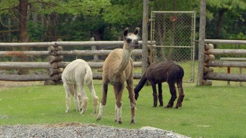 Alpacas. The female, in the middle, is pregnant , by one of the 2 males, behind her. The males are smaller because they are a different species of alpaca than her.