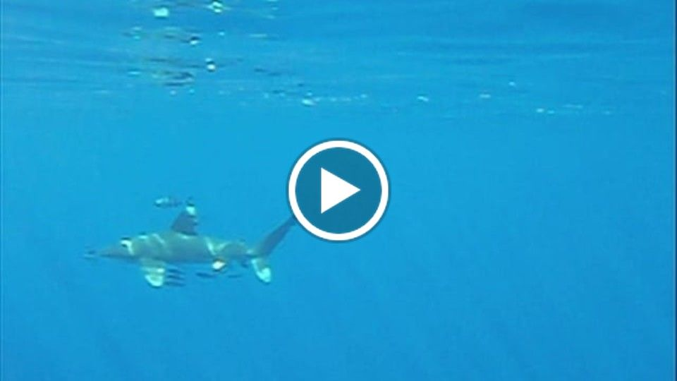 Oceanic White Tip Shark Beautiful Encounter in the Red Sea Egypt