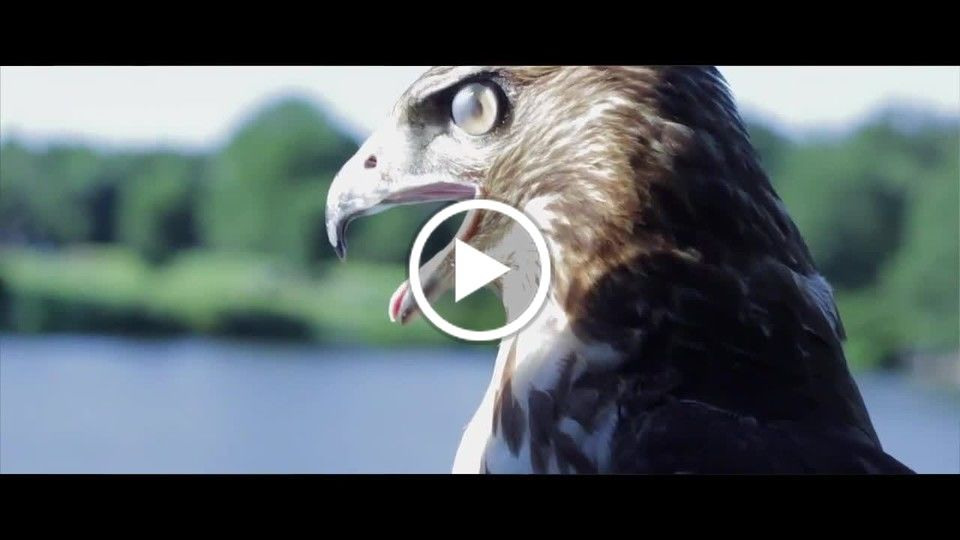 LIFE OF A BLACK FALCONER Trailer