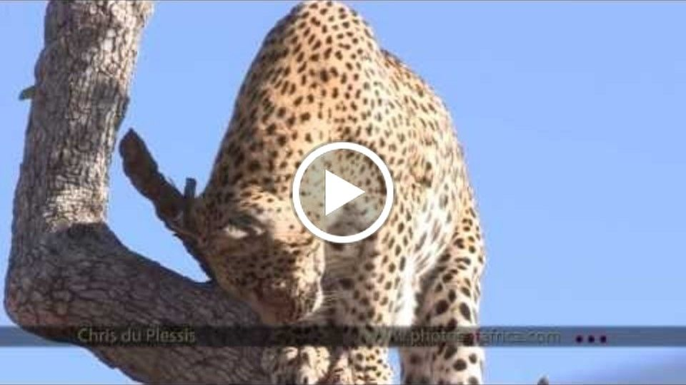 Leopard in Leadwood tree - South Africa Travel Channel 24